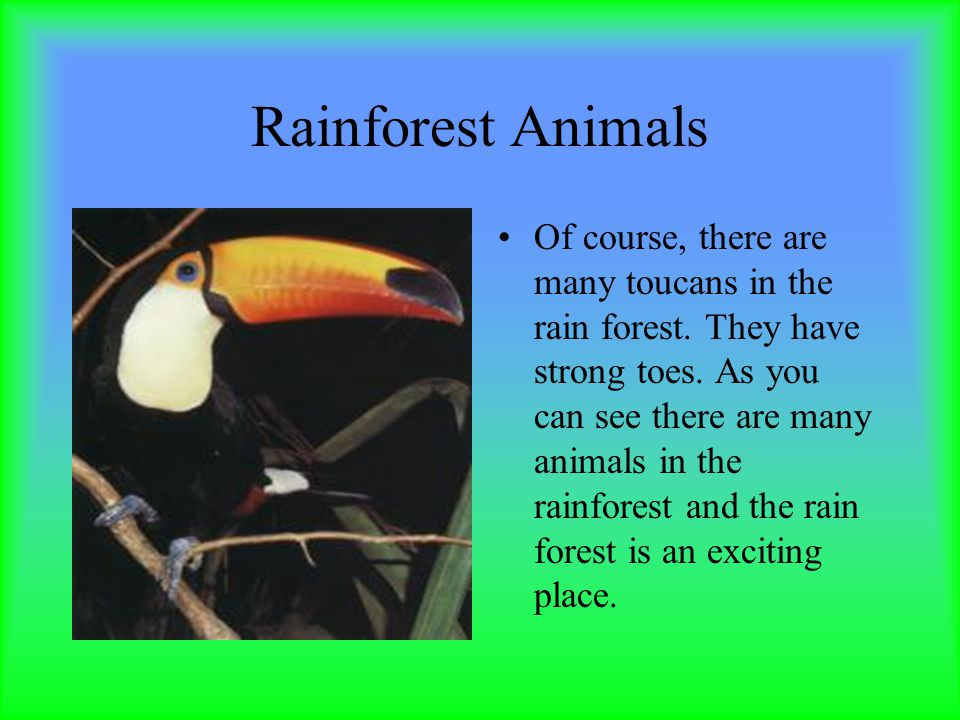 Rainforest Animals Of course, there are many toucans in the rain forest.
