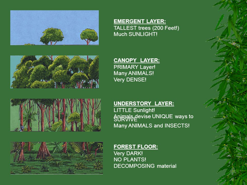 EMERGENT LAYER: TALLEST trees (200 Feet!) Much SUNLIGHT! CANOPY LAYER: PRIMARY Layer! Many ANIMALS! Very DENSE! UNDERSTORY LAYER: LITTLE Sunlight! Ani