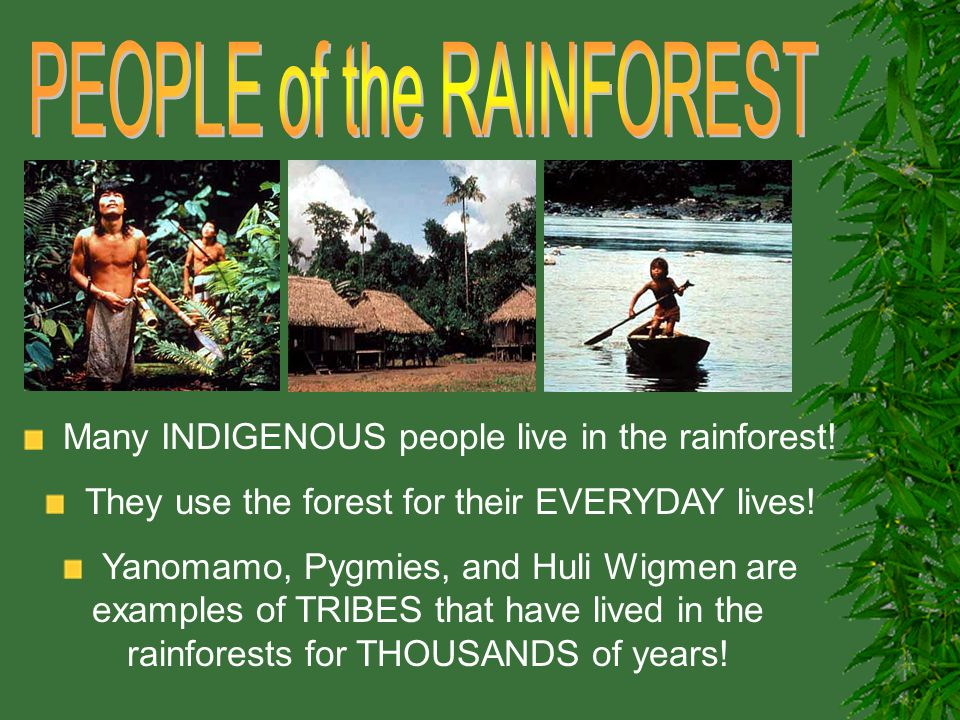 Many INDIGENOUS people live in the rainforest! They use the forest for their EVERYDAY lives! Yanomamo, Pygmies, and Huli Wigmen are examples of TRIBES
