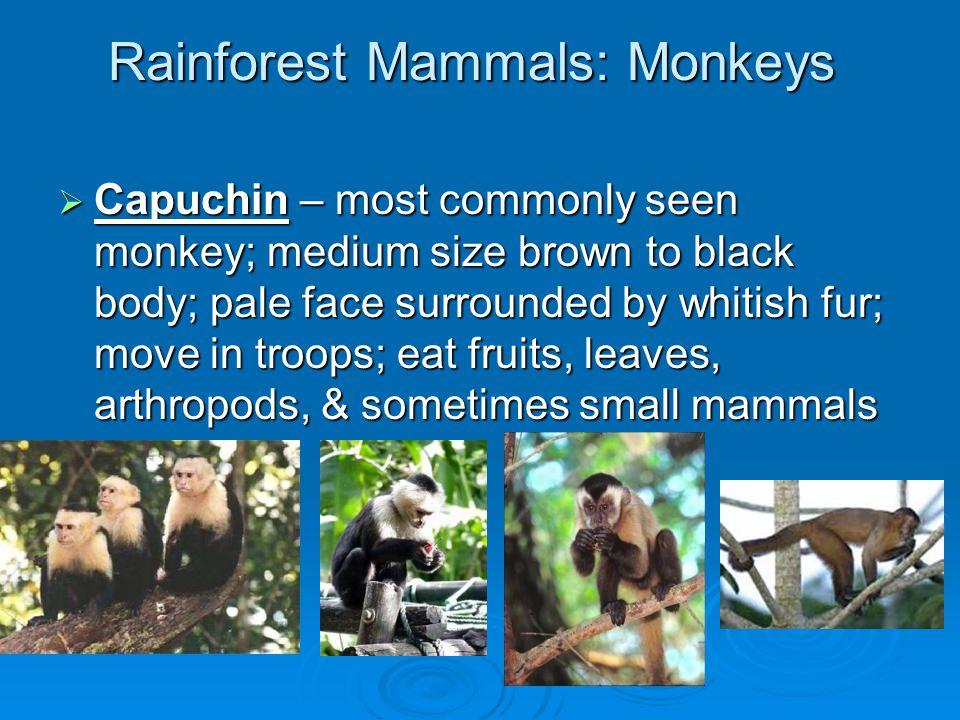 Rainforest Mammals  Three-toed sloth  two-toed sloth