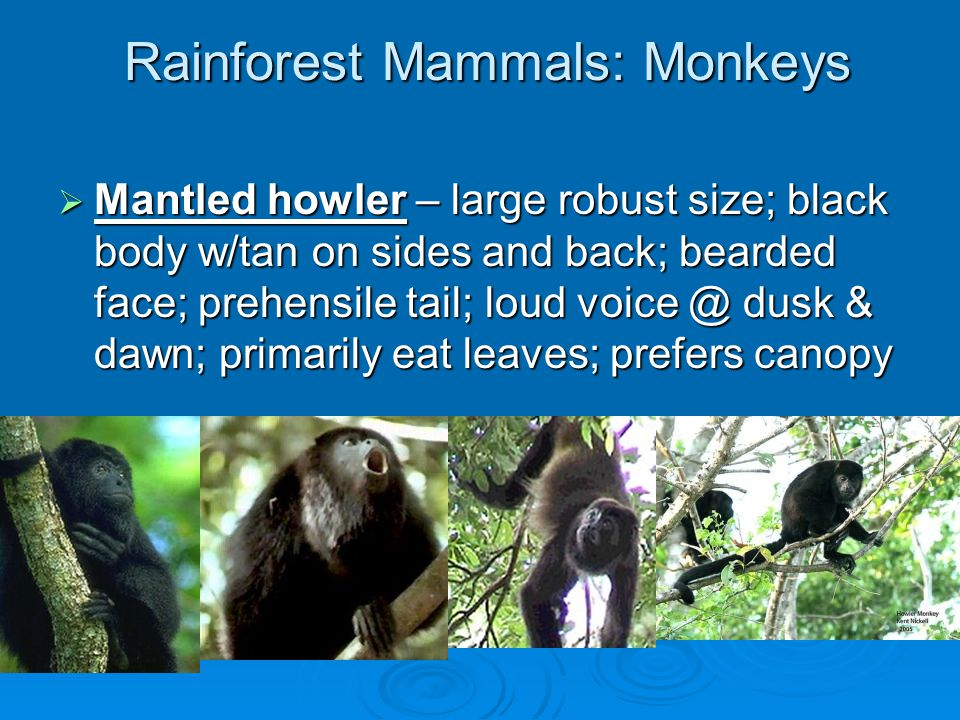 Rainforest Mammals: Monkeys  Geoffrey's tamarin – small and squirrel-like; long tail not prehensile; like forest gaps; eat insects & fruits; red nape & highly patterned body; often have twins