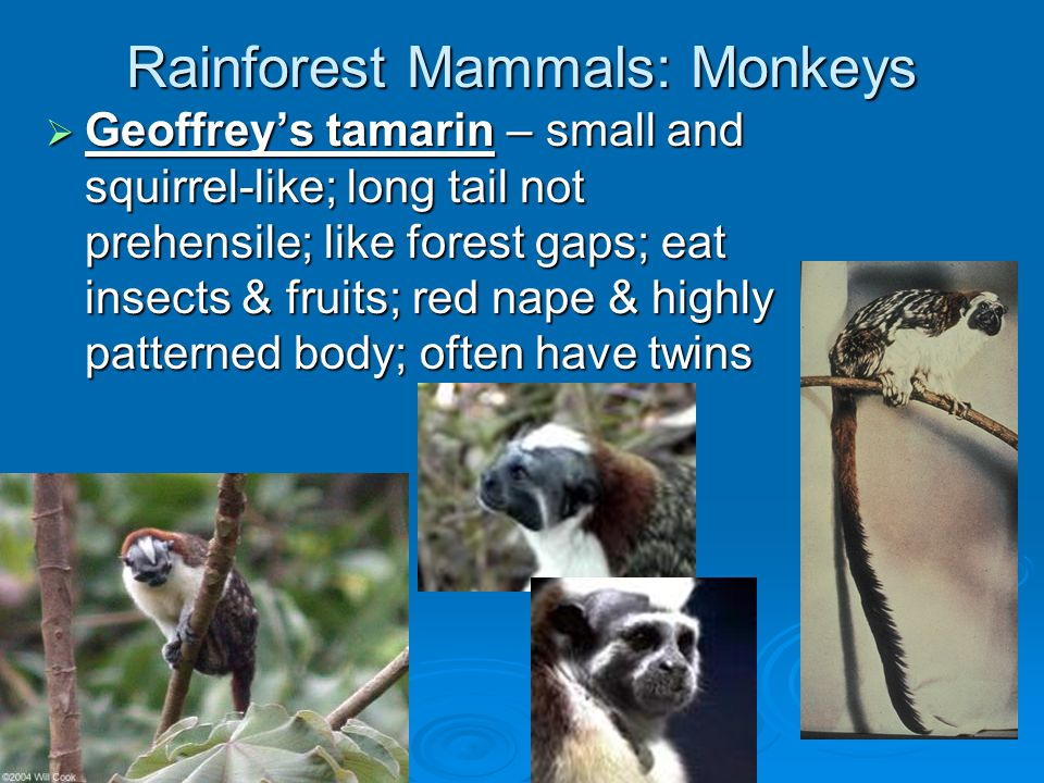 Rainforest Mammals: Weasel Relatives  Tayra – black bushy tail  Grison – black face w/white stripe across forehead and ears; carnivore