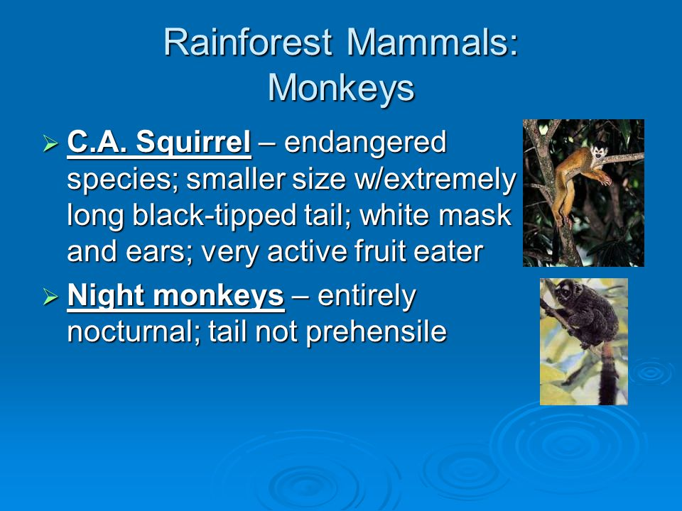 Rainforest Mammals: Rodents  Agouti – diurnal; large & guinea pig- like; tailless; sit upright to eat seeds