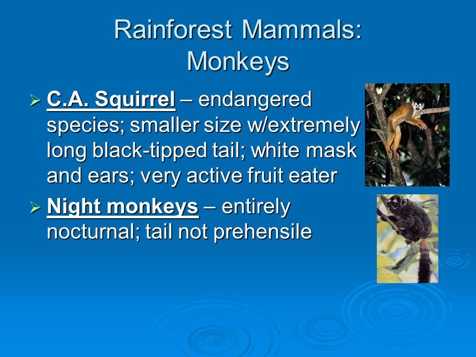 Rainforest Mammals: Cats  Jaguar & Ocelot  Margay – small nocturnal spotted cat; climber; carnivorous  Jaguarundi – diurnal & common; not a climber; not spotted