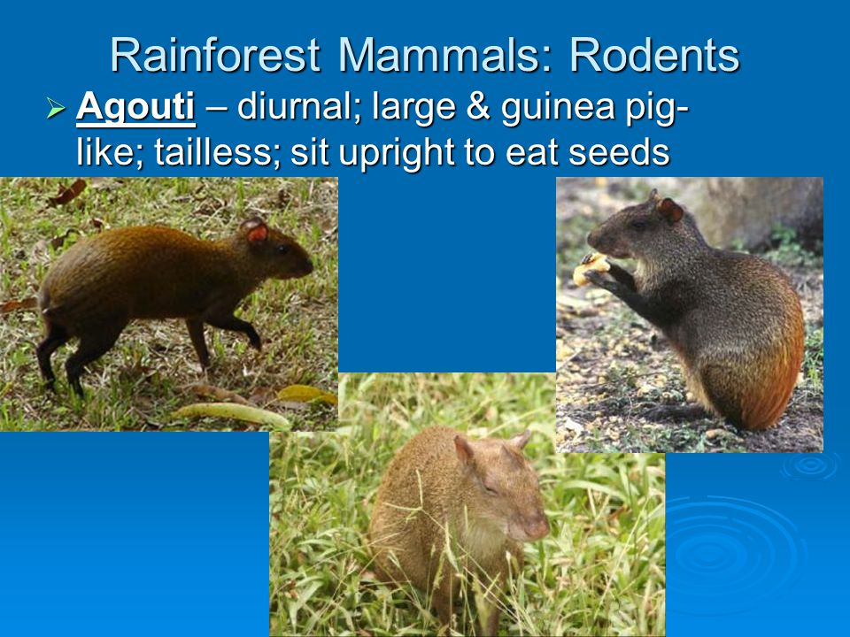 Rainforest Mammals: Opposums  descent diversity exists in this group of marsupials due to adaptive radiation  Virginia, woolly, mouse, four-eyed, short bare-tailed, & water opposums