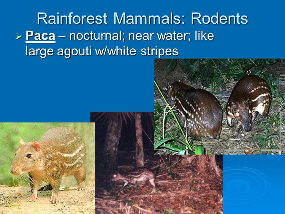 Rainforest Mammals: Rodents  Capybara – diurnal; largest rodent in the world; aquatic; feeds on aquatic vegetation  Spiny rat – nocturnal; spines in fur; on forest floor  variegated squirrel – arboreal arboreal