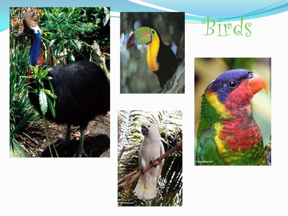 Birds -Tropical rainforests are home to many kinds of birds - Some include parrots, hornbills, toucans, and raptors like eagles, hawks, and vultures.