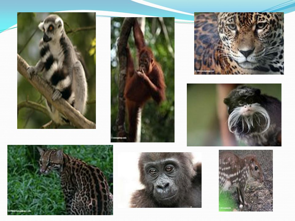 Mammals - Tropical rainforests are home to many kinds of mammals ranging in size - The large mammals include jungle cats like: tigers, jaguars, and le