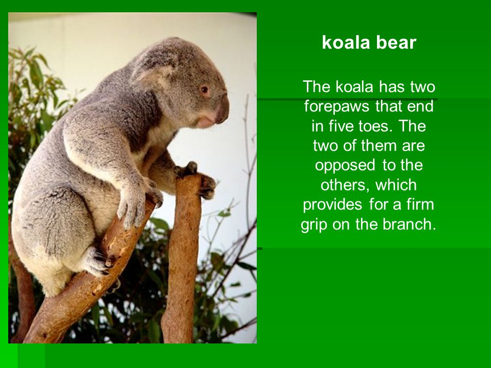 koala bear The koala has two forepaws that end in five toes.
