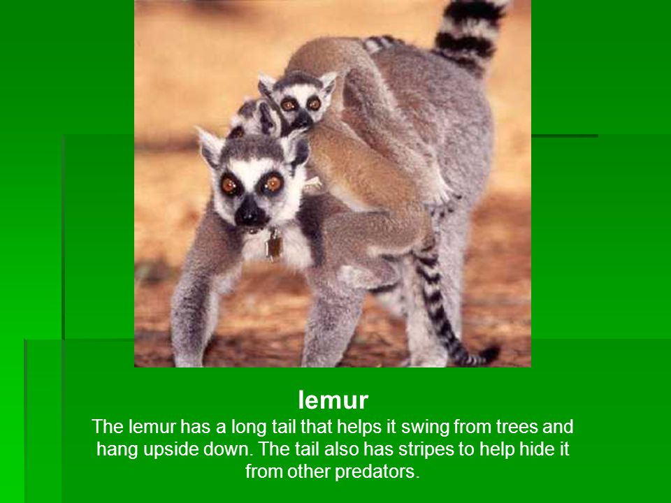 lemur The lemur has a long tail that helps it swing from trees and hang upside down. The tail also has stripes to help hide it from other predators.