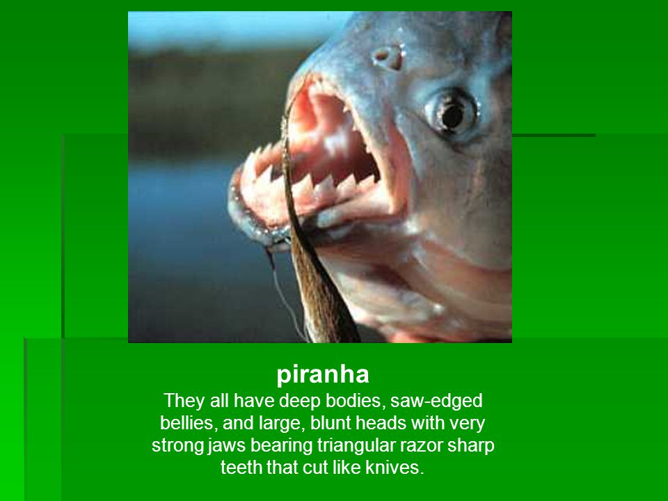 piranha They all have deep bodies, saw-edged bellies, and large, blunt heads with very strong jaws bearing triangular razor sharp teeth that cut like knives.