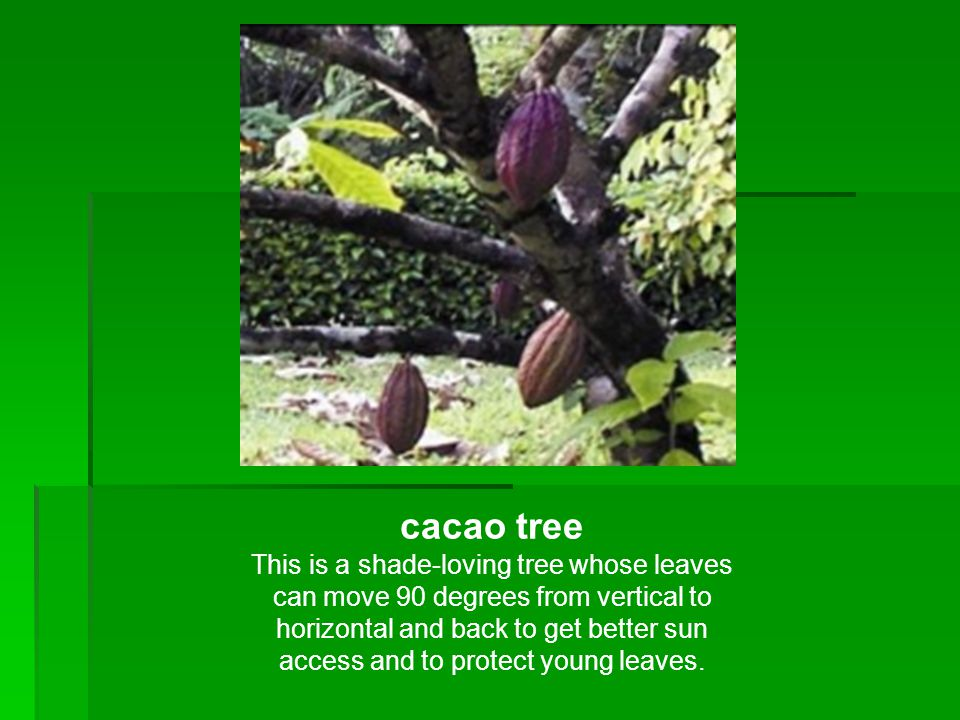 cacao tree This is a shade-loving tree whose leaves can move 90 degrees from vertical to horizontal and back to get better sun access and to protect y