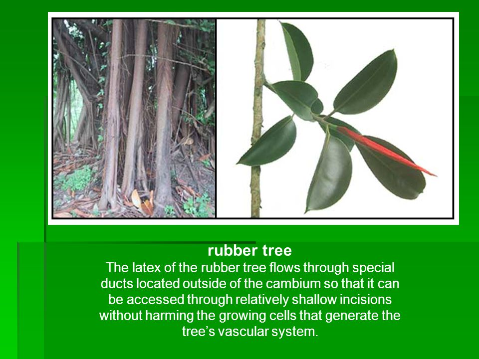 rubber tree The latex of the rubber tree flows through special ducts located outside of the cambium so that it can be accessed through relatively shallow incisions without harming the growing cells that generate the tree's vascular system.