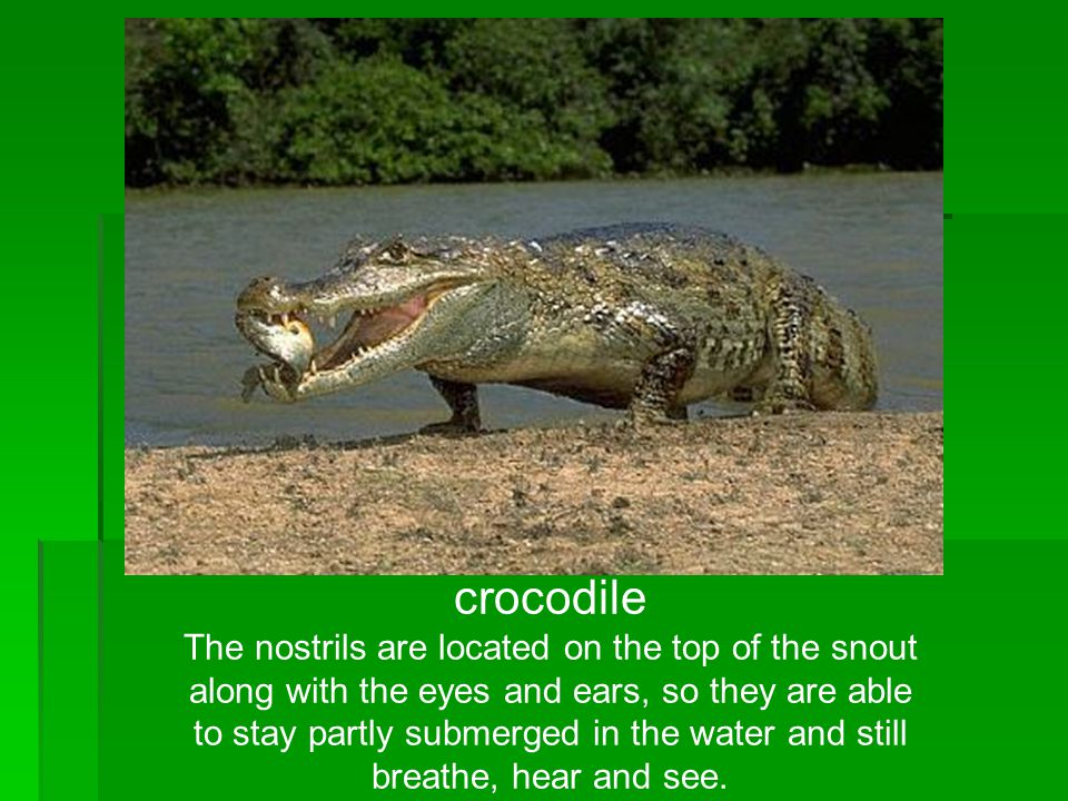 crocodile The nostrils are located on the top of the snout along with the eyes and ears, so they are able to stay partly submerged in the water and st