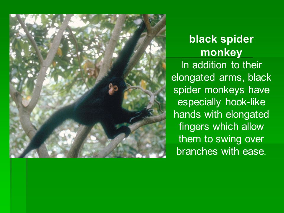 black spider monkey In addition to their elongated arms, black spider monkeys have especially hook-like hands with elongated fingers which allow them to swing over branches with ease.