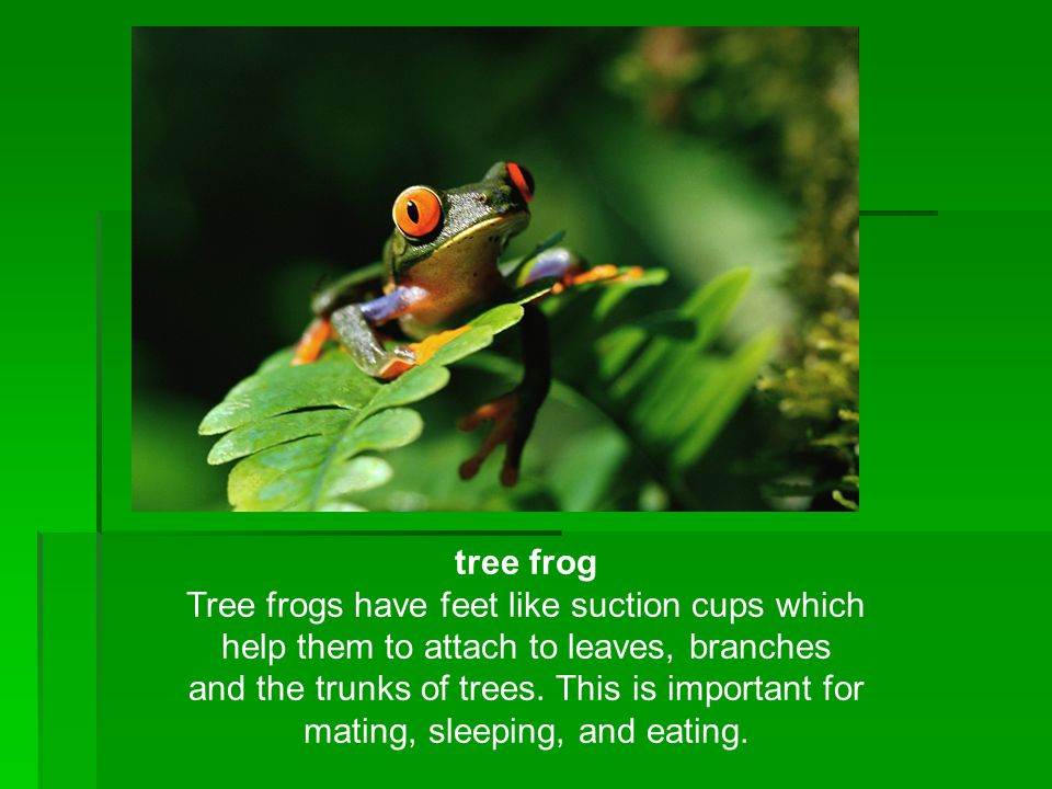 tree frog Tree frogs have feet like suction cups which help them to attach to leaves, branches and the trunks of trees. This is important for mating,