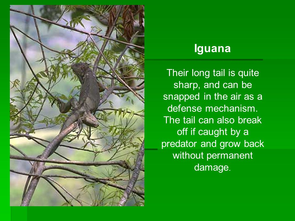 Iguana Their long tail is quite sharp, and can be snapped in the air as a defense mechanism. The tail can also break off if caught by a predator and g