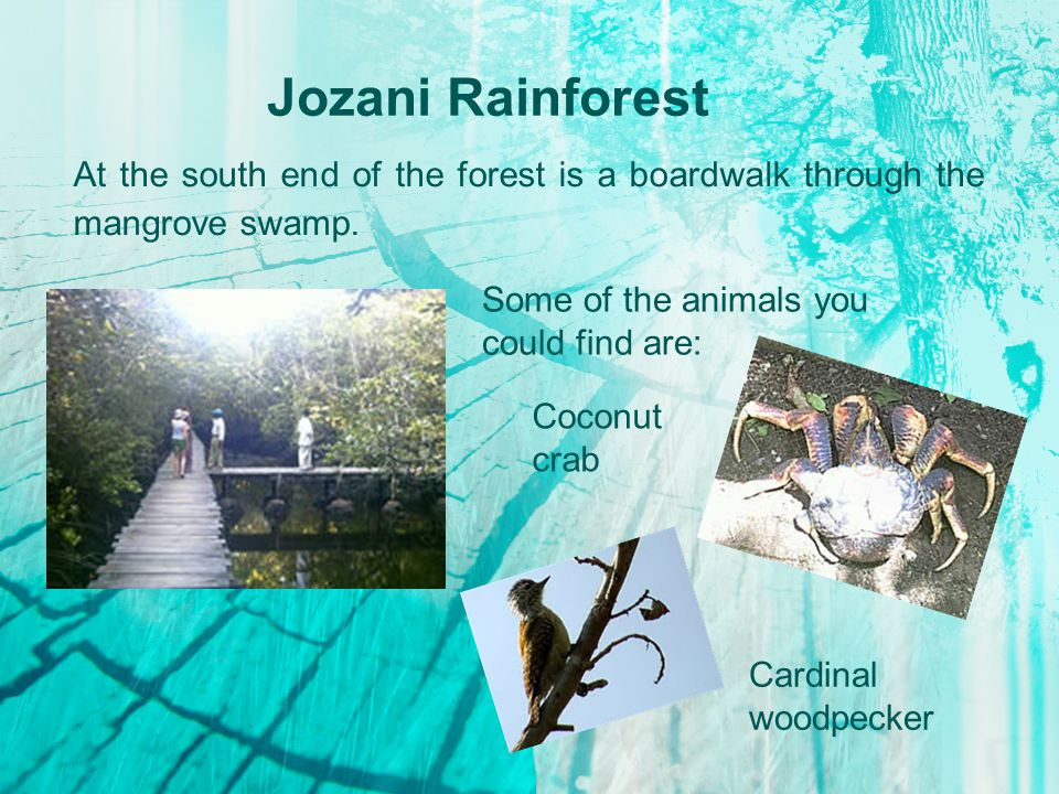 Jozani Rainforest At the south end of the forest is a boardwalk through the mangrove swamp.