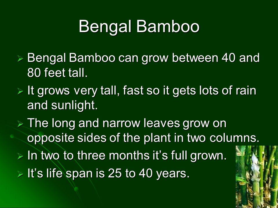 Bengal Bamboo  Bengal Bamboo can grow between 40 and 80 feet tall.