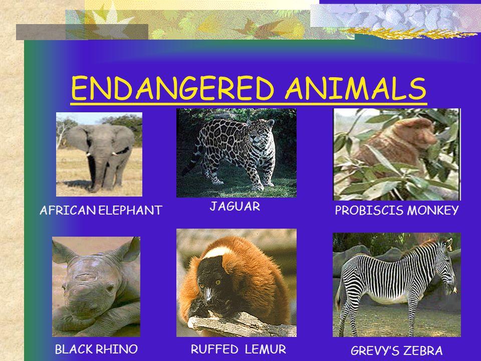 ENDANGERED ANIMALS JAGUAR AFRICAN ELEPHANTPROBISCIS MONKEY RUFFED LEMURBLACK RHINO GREVY'S ZEBRA