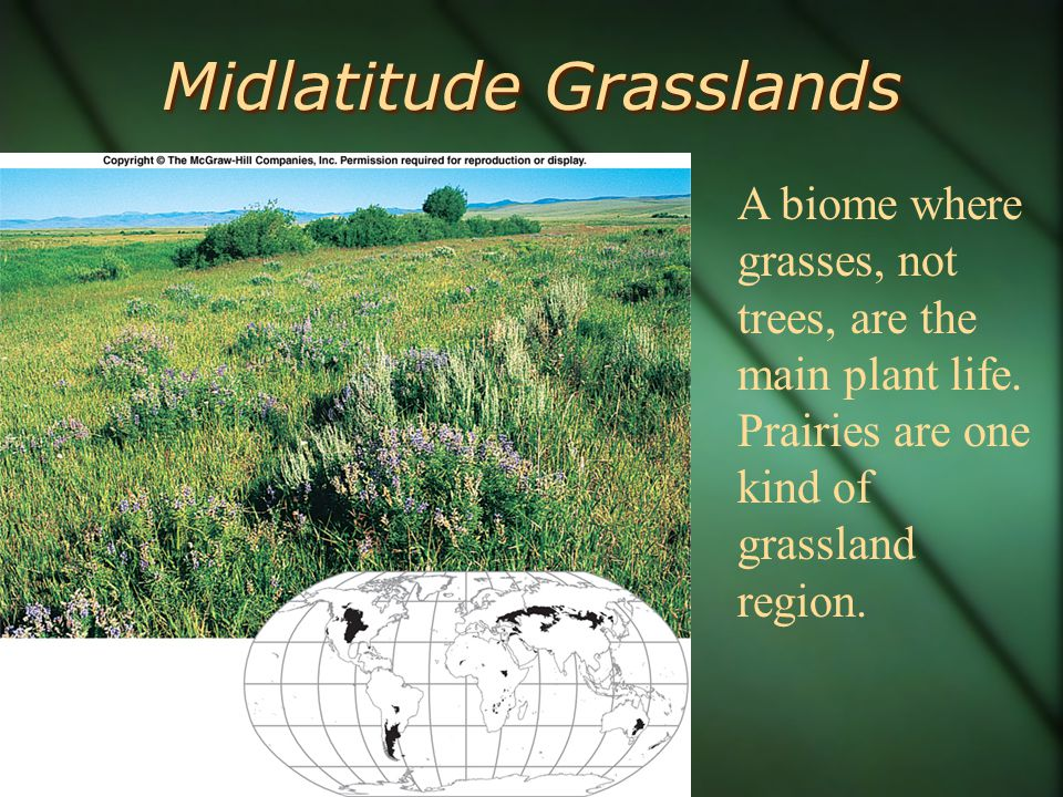Midlatitude Grasslands A biome where grasses, not trees, are the main plant life.
