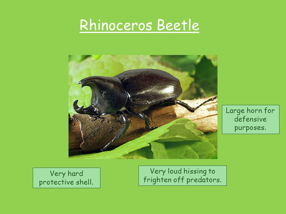 Rhinoceros Beetle Very hard protective shell. Very loud hissing to frighten off predators. Large horn for defensive purposes.