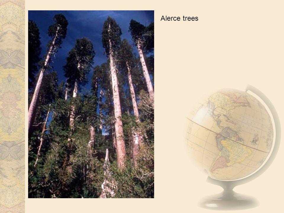 Alerce trees