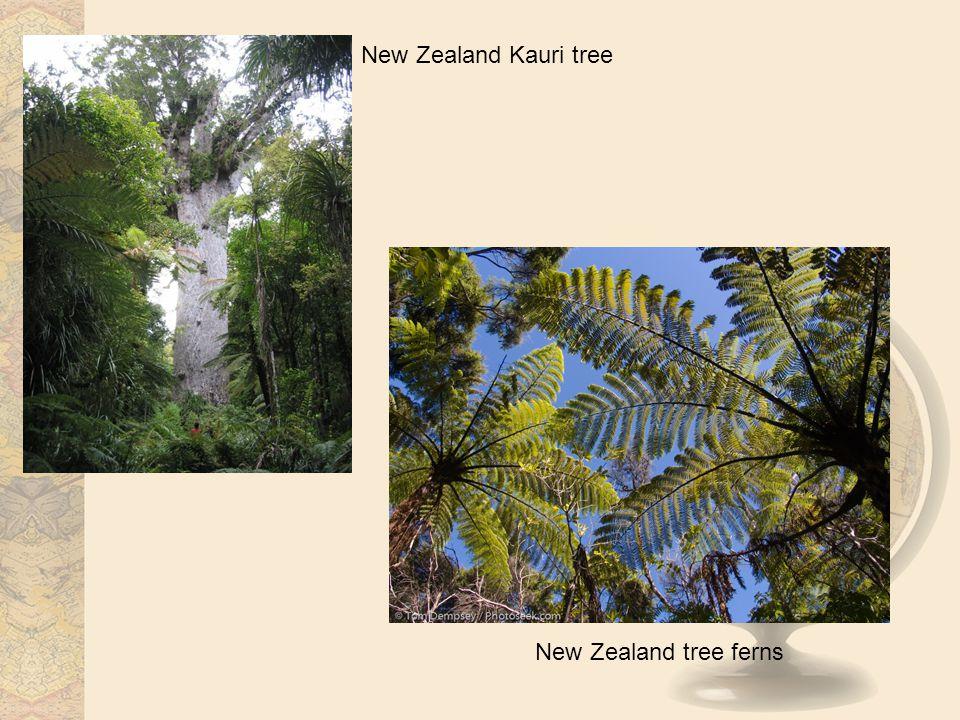 New Zealand tree ferns New Zealand Kauri tree