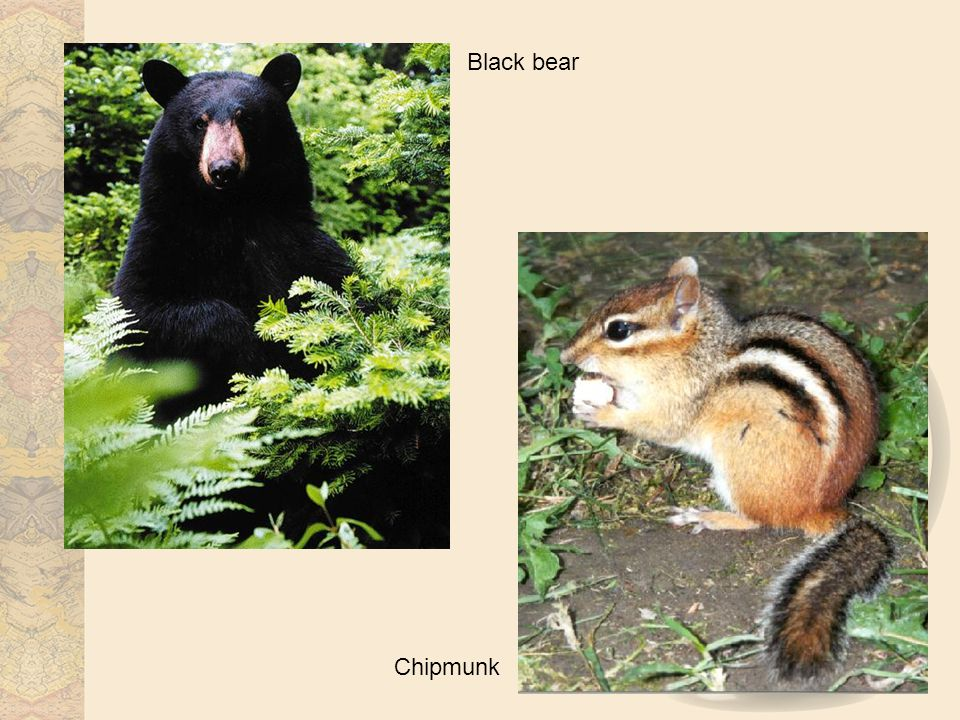 Black bear Chipmunk