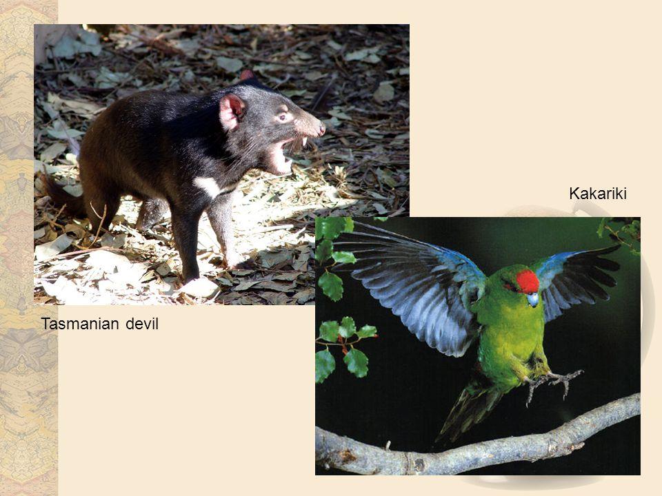 Tasmanian devil Kakariki