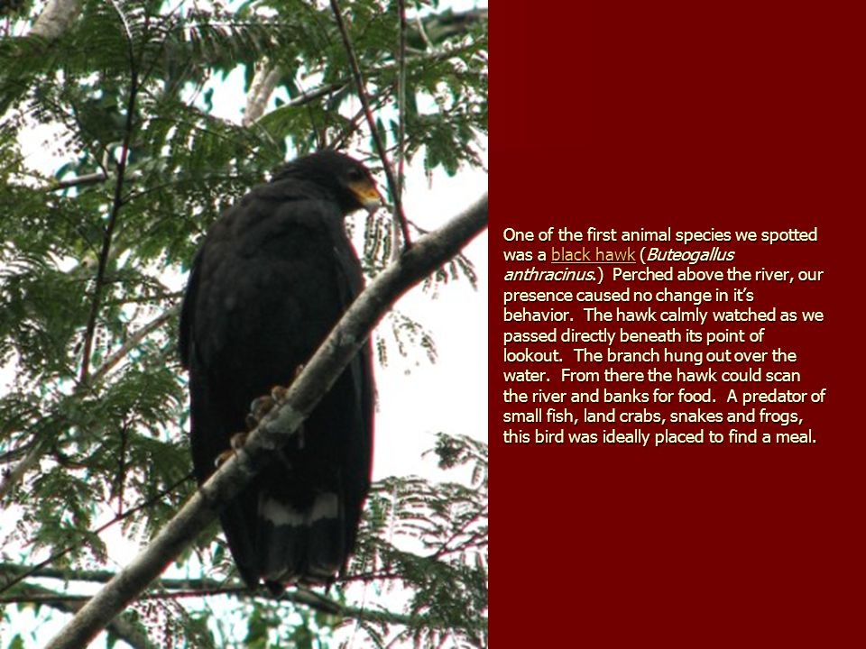 One of the first animal species we spotted was a black hawk (Buteogallus anthracinus.) Perched above the river, our presence caused no change in it's behavior.