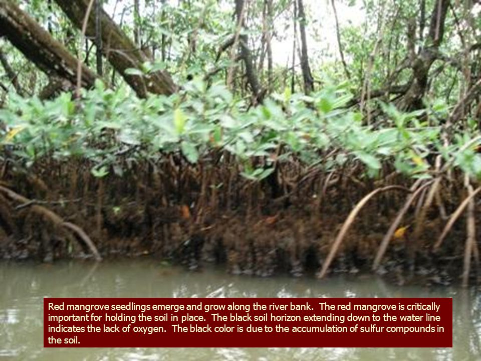 Red mangrove seedlings emerge and grow along the river bank.