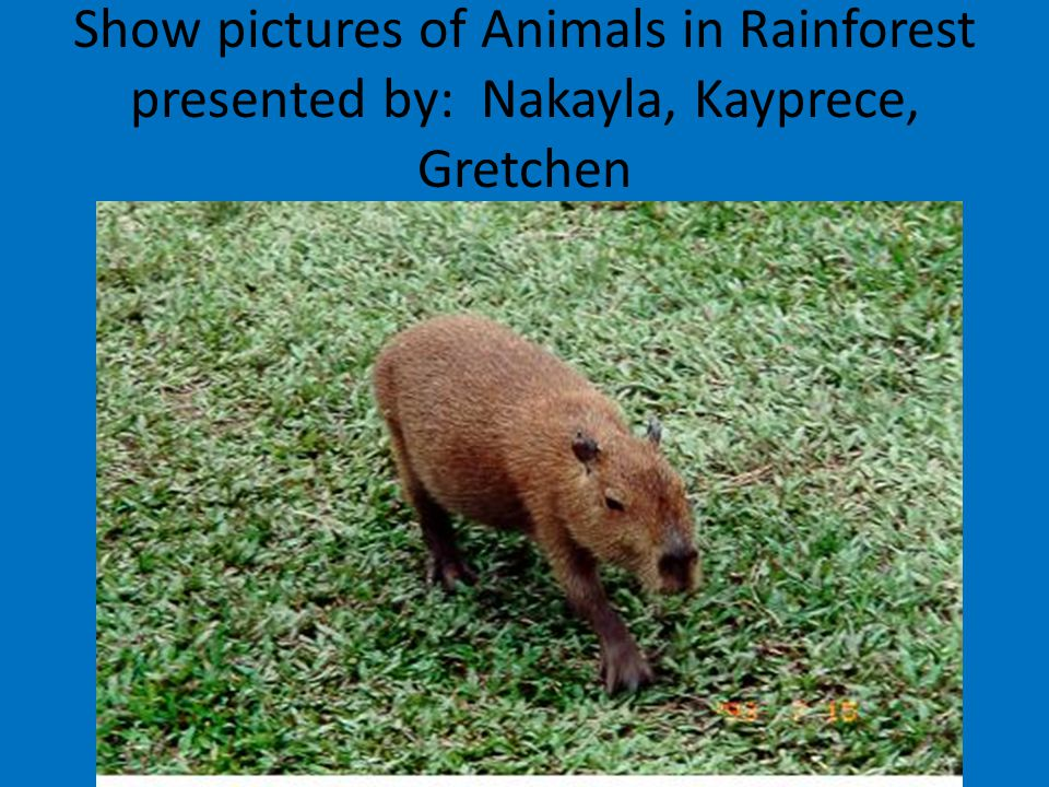 Show pictures of Animals in Rainforest presented by: Nakayla, Kayprece, Gretchen