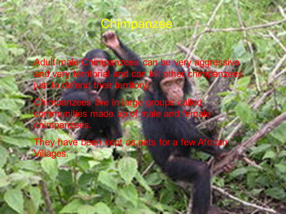 Chimpanzee Adult male Chimpanzees can be very aggressive and very territorial and can kill other chimpanzees just to defend their territory.