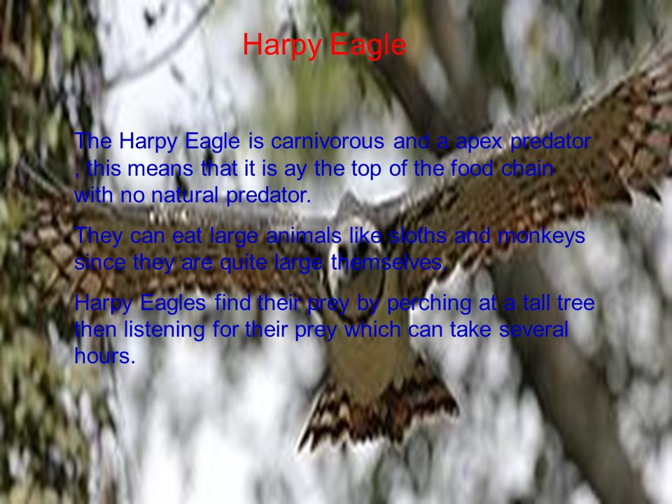 Harpy Eagle The Harpy Eagle is carnivorous and a apex predator, this means that it is ay the top of the food chain with no natural predator.