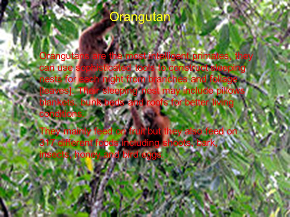 Orangutan Orangutans are the most intelligent primates, they can use sophisticated tools to construct sleeping nests for each night from branches and foliage [leaves].