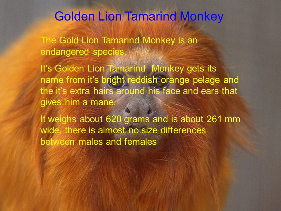 Golden Lion Tamarind Monkey The Gold Lion Tamarind Monkey is an endangered species.