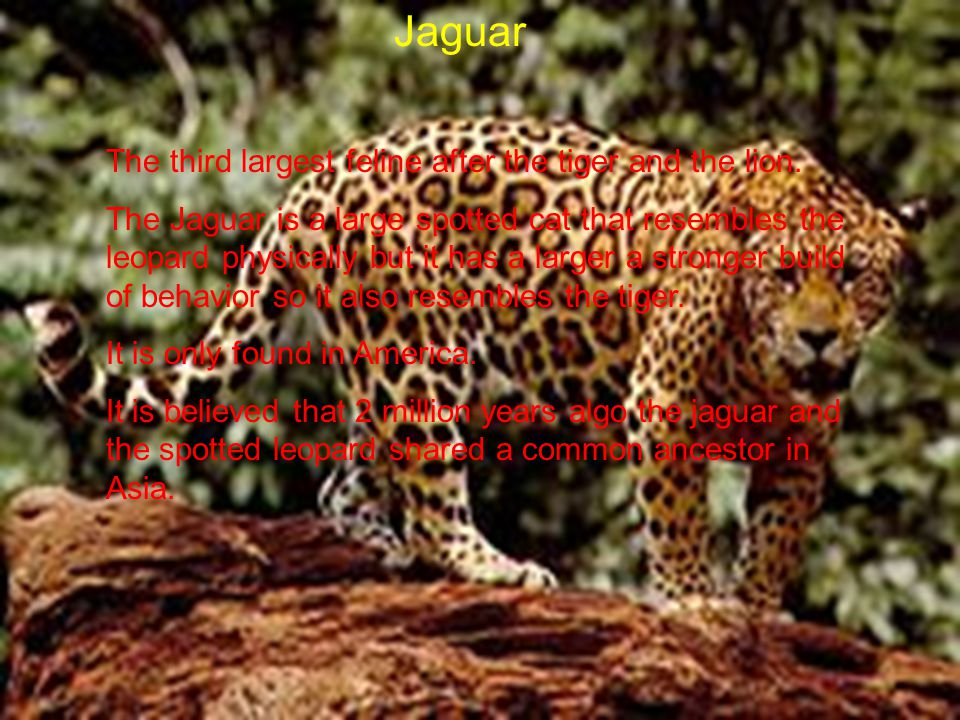 Jaguar The third largest feline after the tiger and the lion.