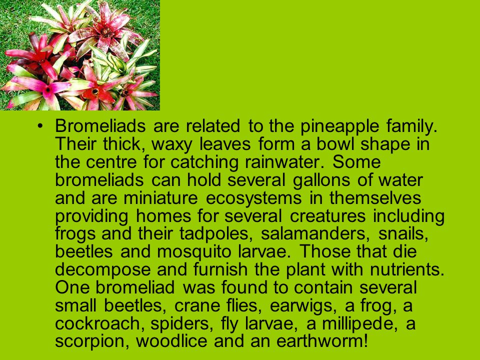 Bromeliads are related to the pineapple family. Their thick, waxy leaves form a bowl shape in the centre for catching rainwater. Some bromeliads can h