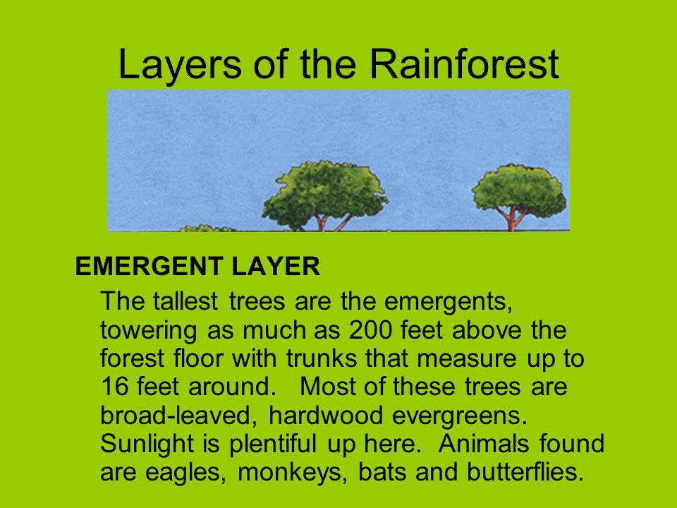Layers of the Rainforest EMERGENT LAYER The tallest trees are the emergents, towering as much as 200 feet above the forest floor with trunks that meas