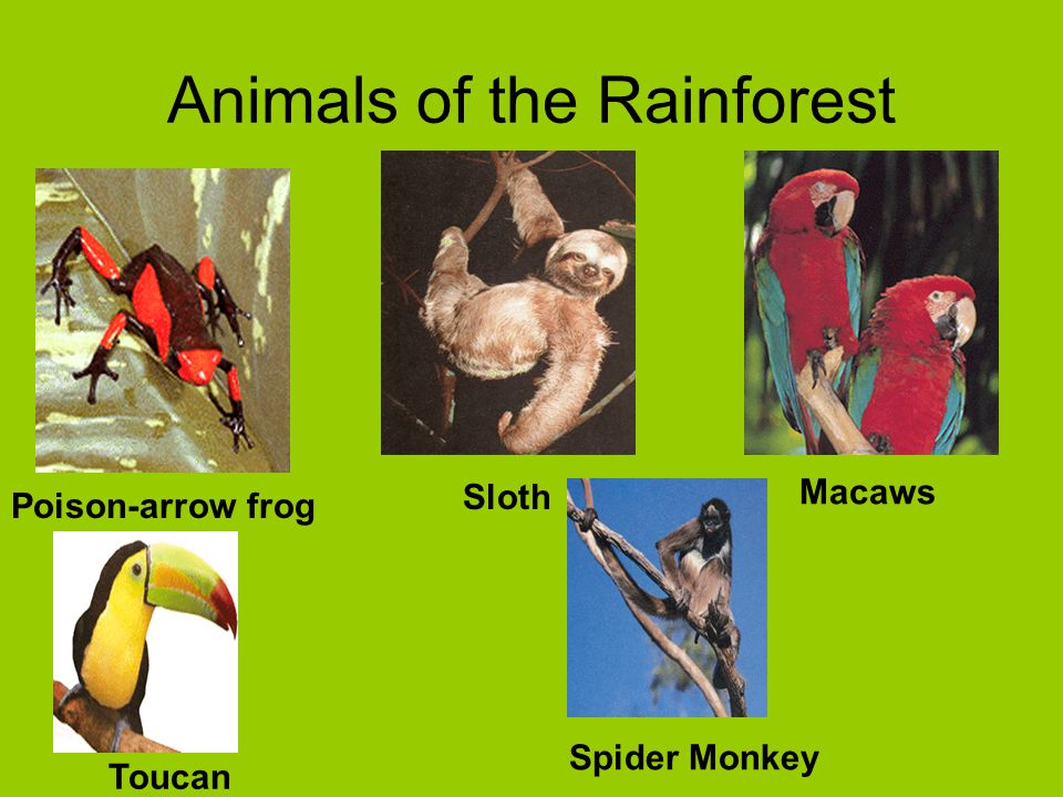 Animals of the Rainforest Poison-arrow frog Macaws Sloth Toucan Spider Monkey