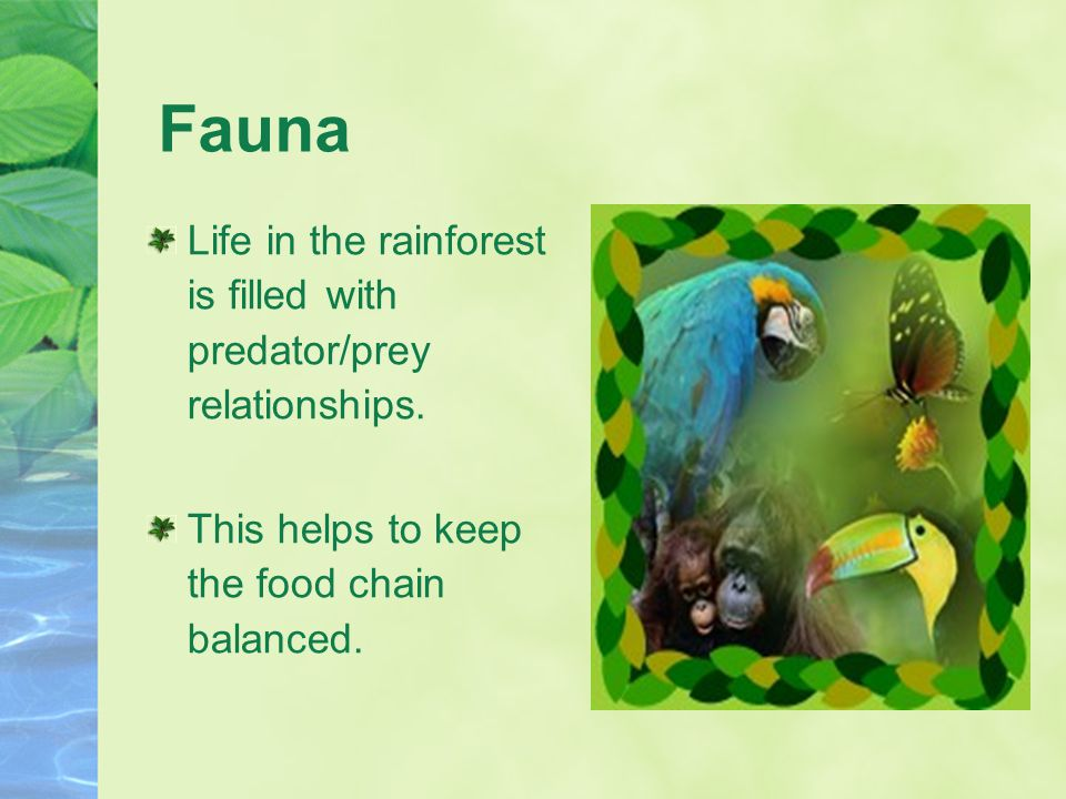 Fauna Life in the rainforest is filled with predator/prey relationships. This helps to keep the food chain balanced.