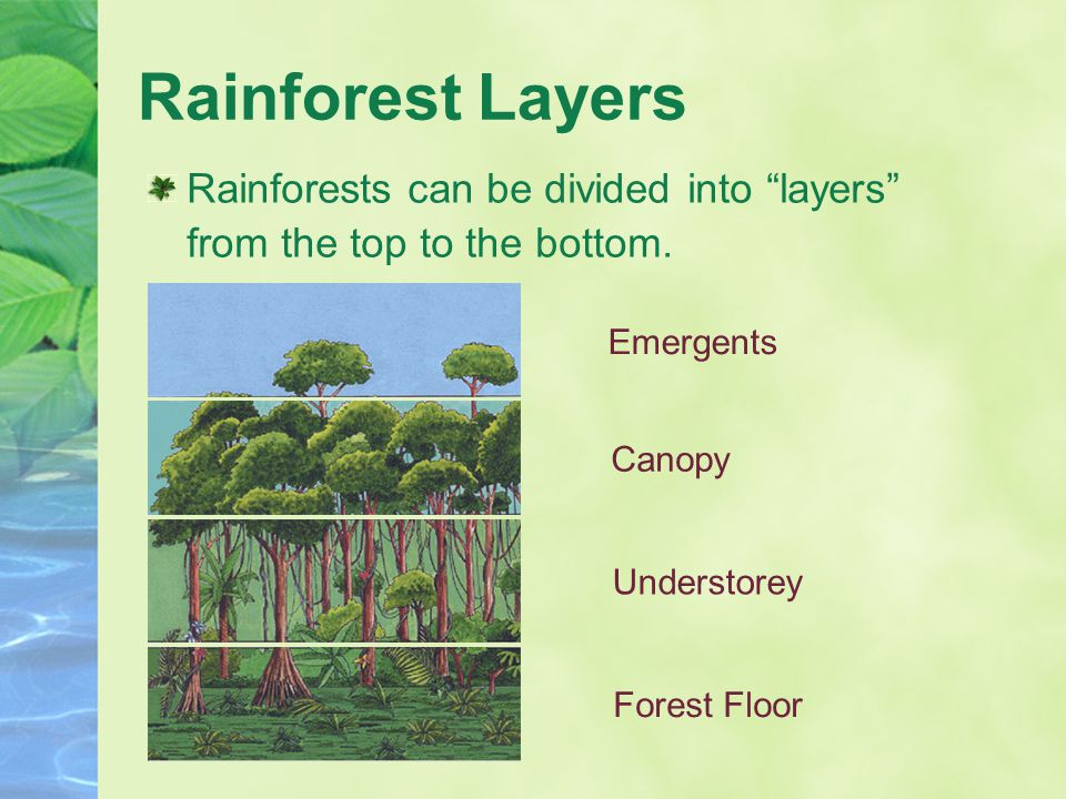 "Rainforest Layers Rainforests can be divided into ""layers"" from the top to the bottom. Emergents Canopy Understorey Forest Floor"