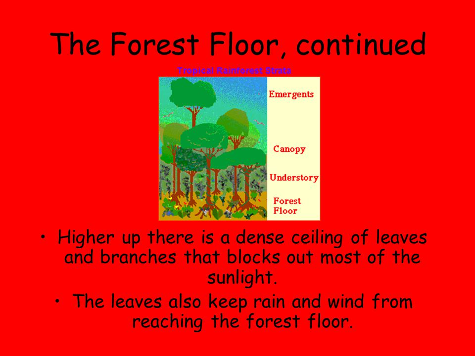 The Forest Floor, continued Higher up there is a dense ceiling of leaves and branches that blocks out most of the sunlight. The leaves also keep rain
