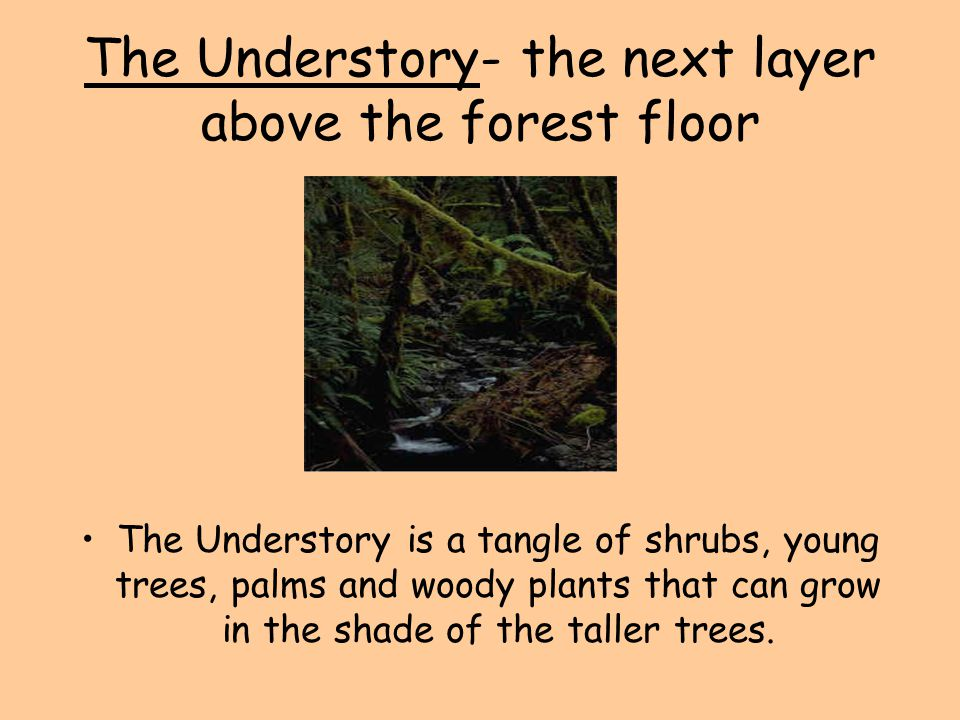 The Understory- the next layer above the forest floor The Understory is a tangle of shrubs, young trees, palms and woody plants that can grow in the s