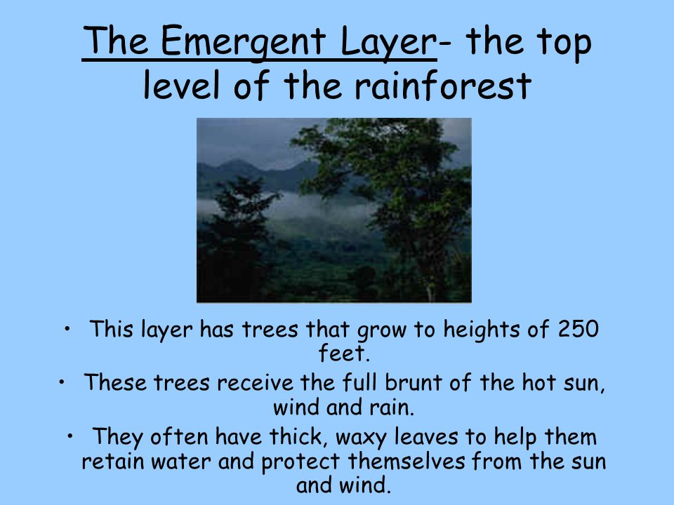 The Emergent Layer- the top level of the rainforest This layer has trees that grow to heights of 250 feet. These trees receive the full brunt of the h