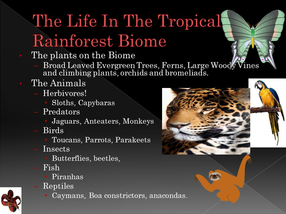 The plants on the Biome – Broad Leaved Evergreen Trees, Ferns, Large Woody Vines and climbing plants, orchids and bromeliads.