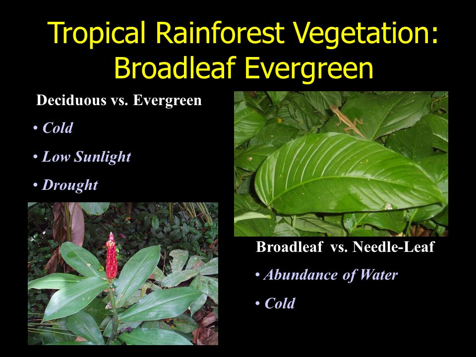 Tropical Rainforest Vegetation: Broadleaf Evergreen Deciduous vs.