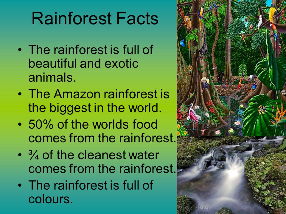 Rainforest Facts The rainforest is full of beautiful and exotic animals.