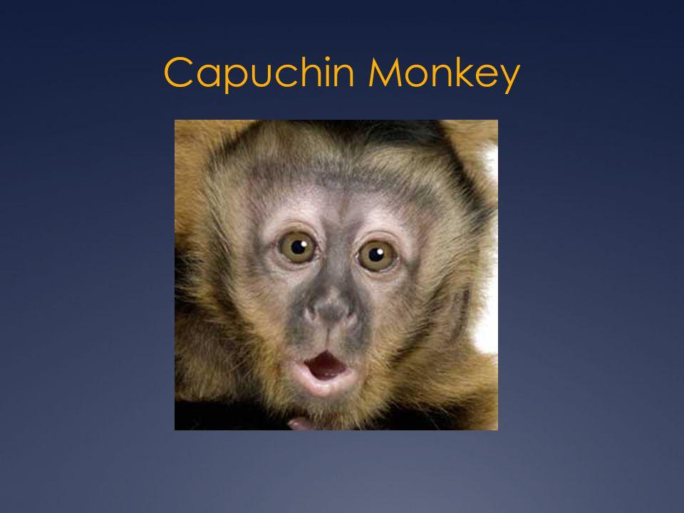  Capuchin Monkeys live in the Amazon Rainforest.